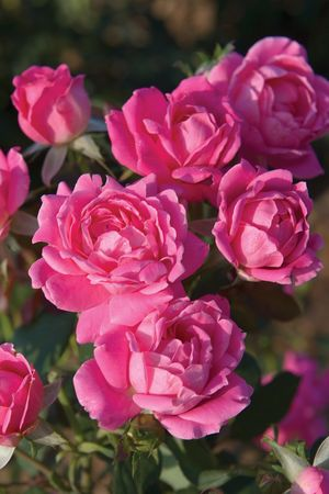 Knockout Rose Double Pink
